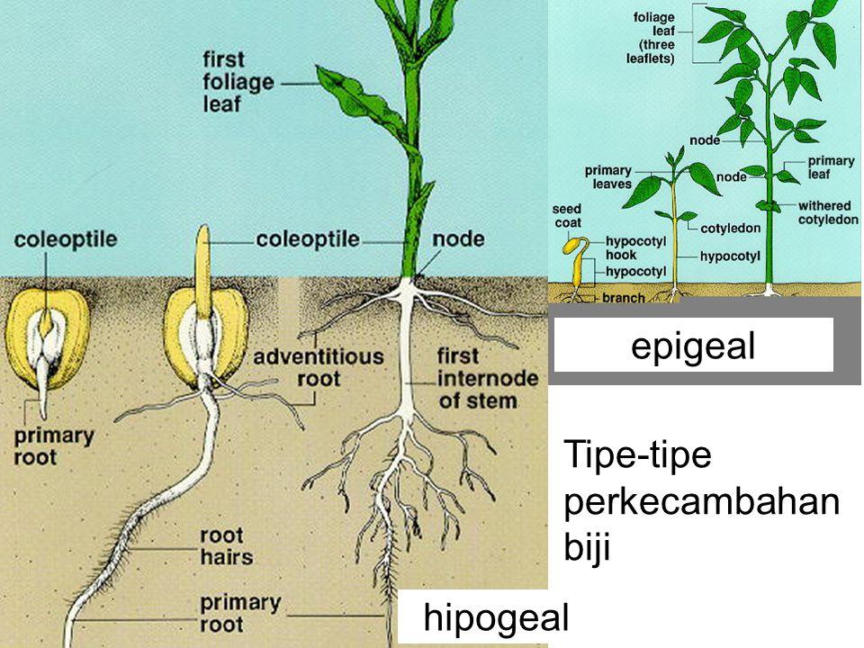 epigeal hipogeal Tipe-tipe perkecambahan biji