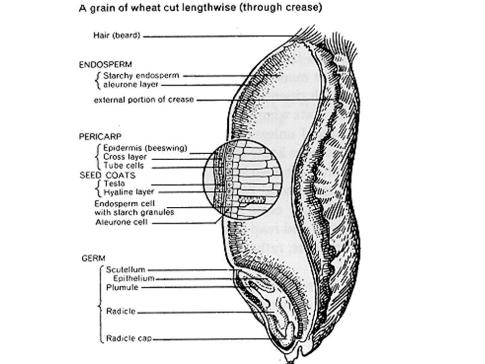 Berkembang dari bakal biji dan merupakan hasil fertilisasi ganda Terdiri dari 3 bagian: embrio, endosperm dan integumen Mempunyai masa dormansi yang bervariasi Mikrofil terlihat seperti pori kecil Bekas funikulum  hilum Tonjolan aril menyelubungi biji  Durio zibetinus, Myristica fragrans Operkulum  bentuk sumbat di daerah mikrofil