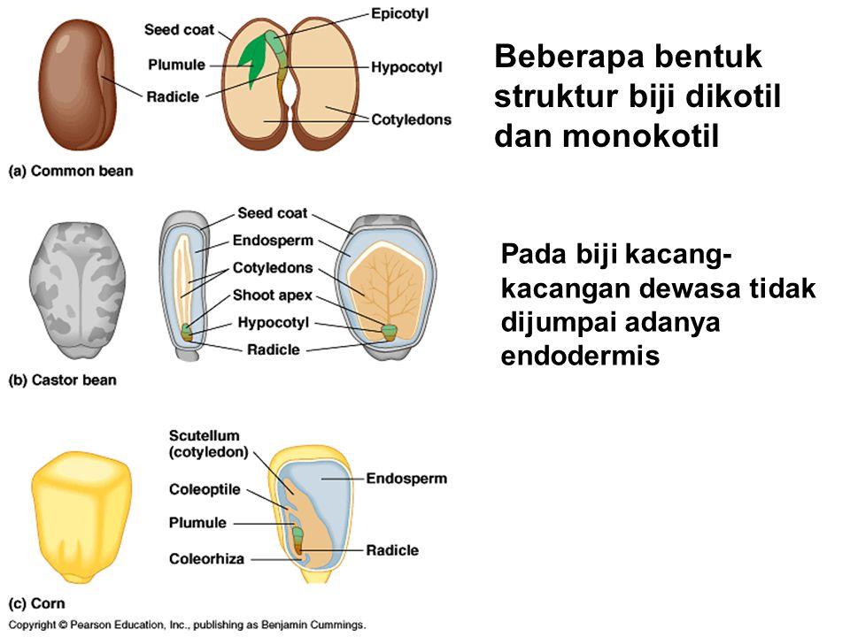Beberapa bentuk struktur biji dikotil dan monokotil Pada biji kacang- kacangan dewasa tidak dijumpai adanya endodermis