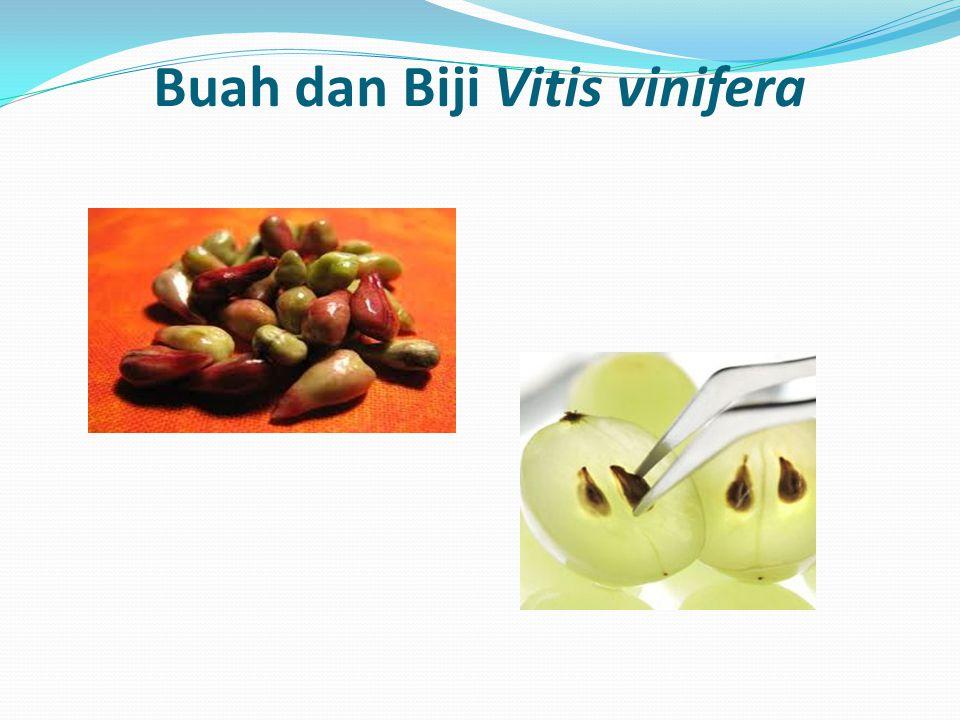 Buah dan Biji Vitis vinifera