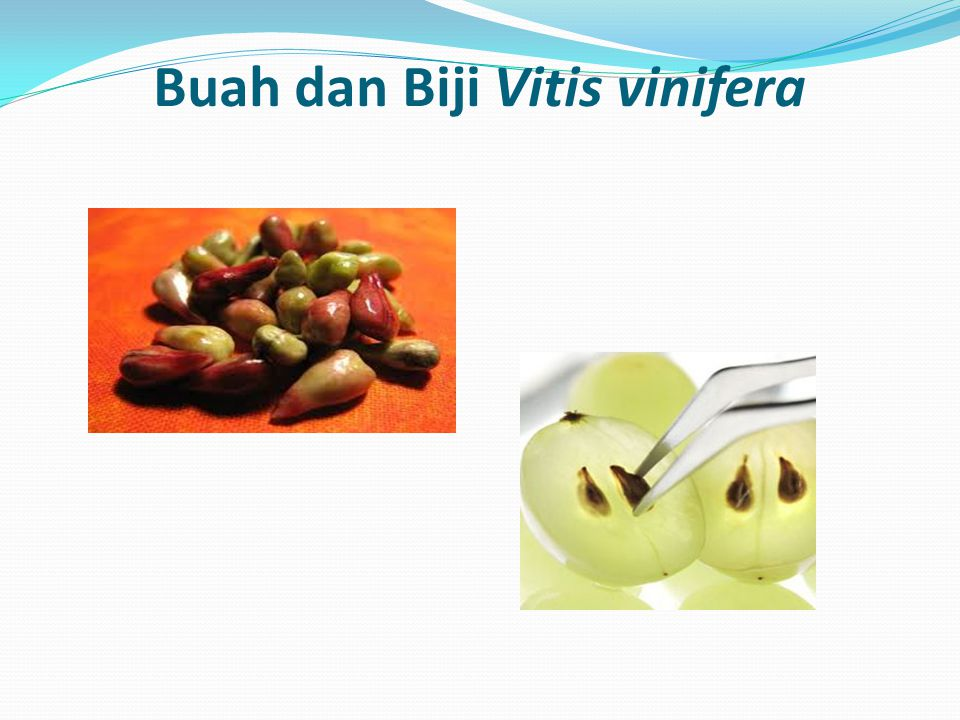 Kandungan Tanaman Anggur mengandung: flavonoid, saponin dan polifenol.