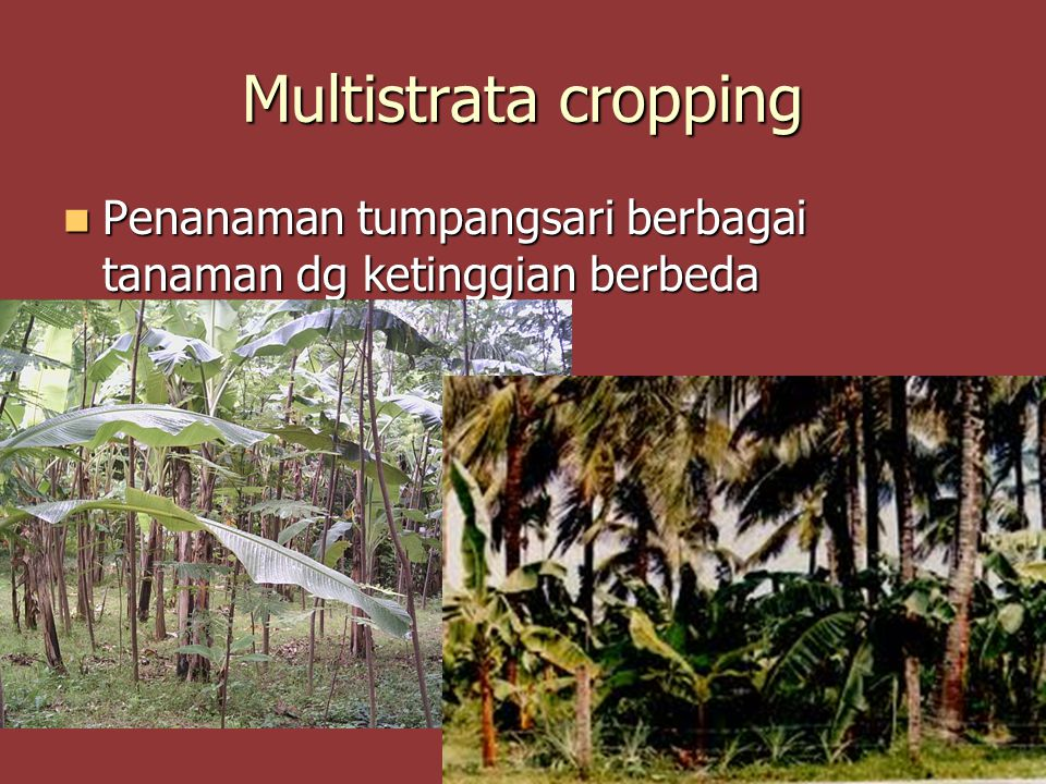 Multistrata cropping Penanaman tumpangsari berbagai tanaman dg ketinggian berbeda Penanaman tumpangsari berbagai tanaman dg ketinggian berbeda