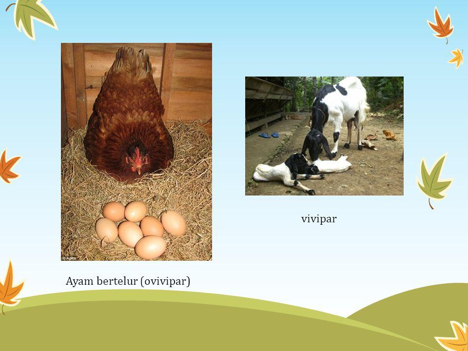 Ayam bertelur (ovivipar) vivipar