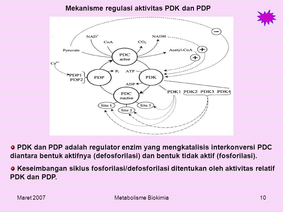 Maret 2007Metabolisme Biokimia10 Mekanisme regulasi aktivitas PDK dan PDP PDK dan PDP adalah regulator enzim yang mengkatalisis interkonversi PDC dian