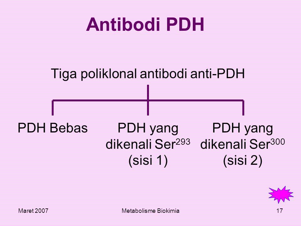 Maret 2007Metabolisme Biokimia17 Antibodi PDH Tiga poliklonal antibodi anti-PDH PDH BebasPDH yang dikenali Ser 293 (sisi 1) PDH yang dikenali Ser 300