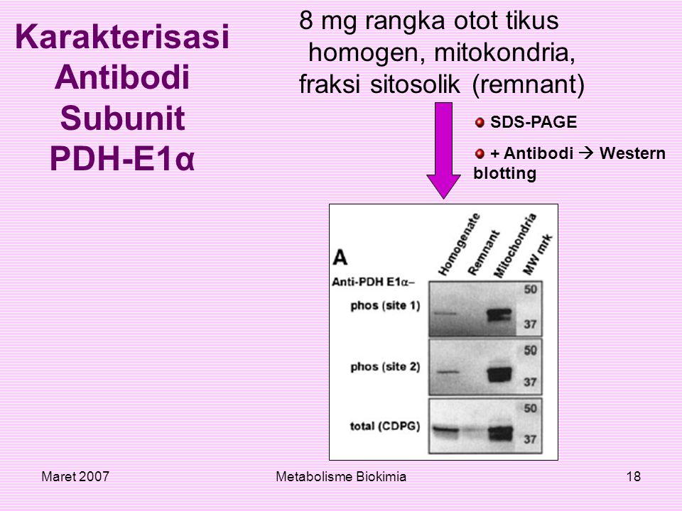 Maret 2007Metabolisme Biokimia18 Karakterisasi Antibodi Subunit PDH-E1α 8 mg rangka otot tikus homogen, mitokondria, fraksi sitosolik (remnant) SDS-PA