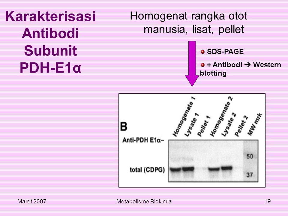 Maret 2007Metabolisme Biokimia19 Homogenat rangka otot manusia, lisat, pellet Karakterisasi Antibodi Subunit PDH-E1α SDS-PAGE + Antibodi  Western blo