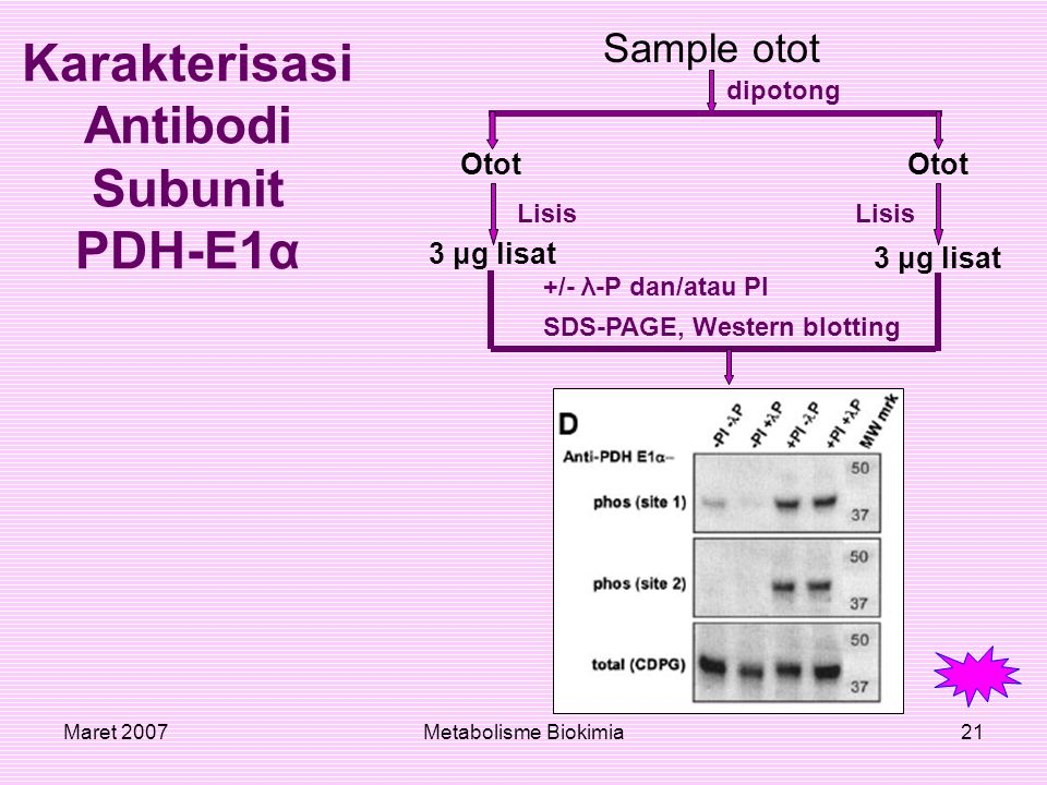 Maret 2007Metabolisme Biokimia21 Sample otot Karakterisasi Antibodi Subunit PDH-E1α Otot 3 μg lisat dipotong Lisis +/- λ-P dan/atau PI SDS-PAGE, Weste