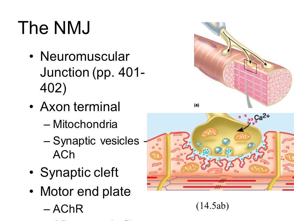 The NMJ Neuromuscular Junction (pp. 401- 402) Axon terminal –Mitochondria –Synaptic vesicles – ACh Synaptic cleft Motor end plate –AChR –AP to muscle