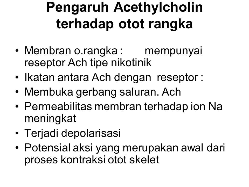 Pengaruh Acethylcholin terhadap otot rangka Membran o.rangka : mempunyai reseptor Ach tipe nikotinik Ikatan antara Ach dengan reseptor : Membuka gerba