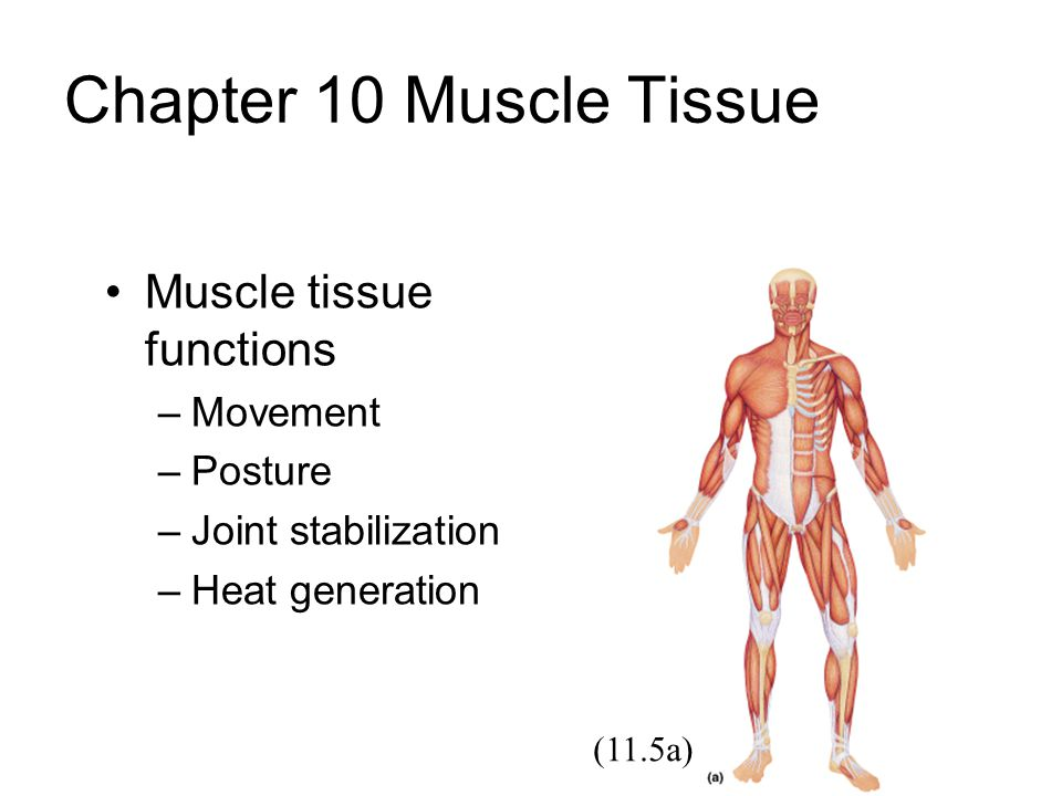 Chapter 10 Muscle Tissue Muscle tissue functions –Movement –Posture –Joint stabilization –Heat generation (11.5a)