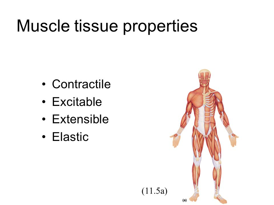 Muscle tissue properties Contractile Excitable Extensible Elastic (11.5a)