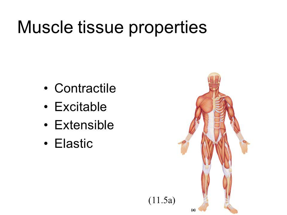 Single Unit Smooth Muscle serat otot bersatu membentuk lembaran membran sel berlekatan satu sama lain membran sel dihub.