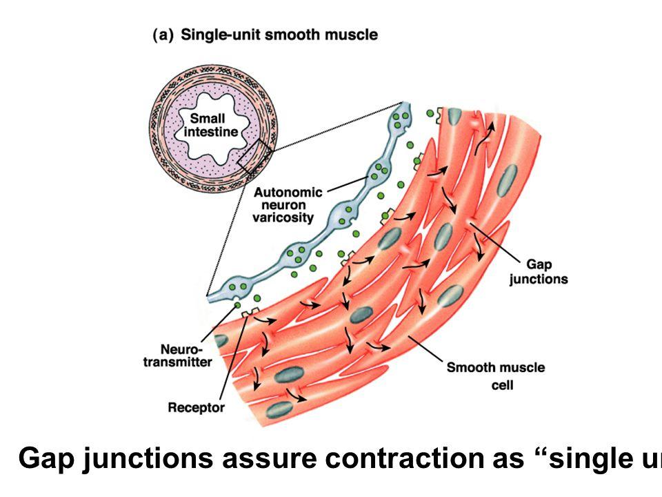 """Gap junctions assure contraction as """"single unit."""""""