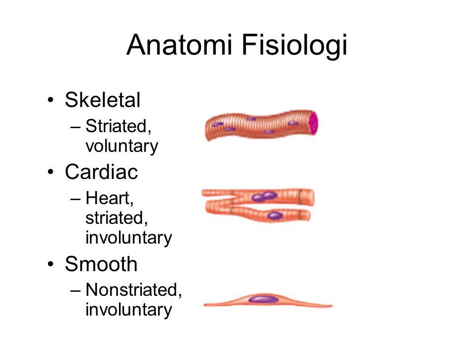 Anatomi Fisiologi Skeletal –Striated, voluntary Cardiac –Heart, striated, involuntary Smooth –Nonstriated, involuntary