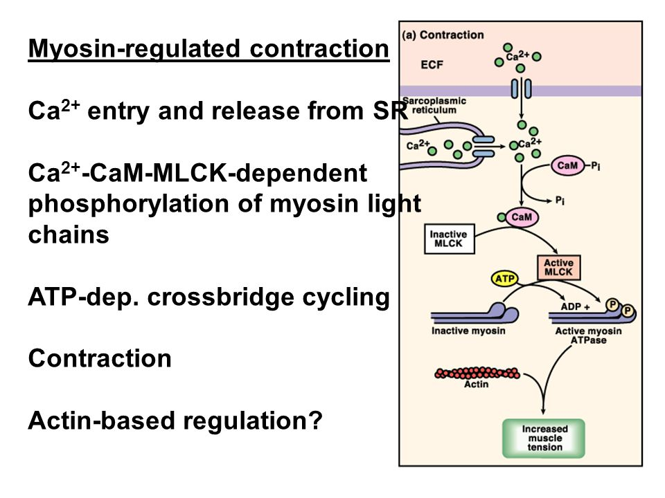 Myosin-regulated contraction Ca 2+ entry and release from SR Ca 2+ -CaM-MLCK-dependent phosphorylation of myosin light chains ATP-dep.