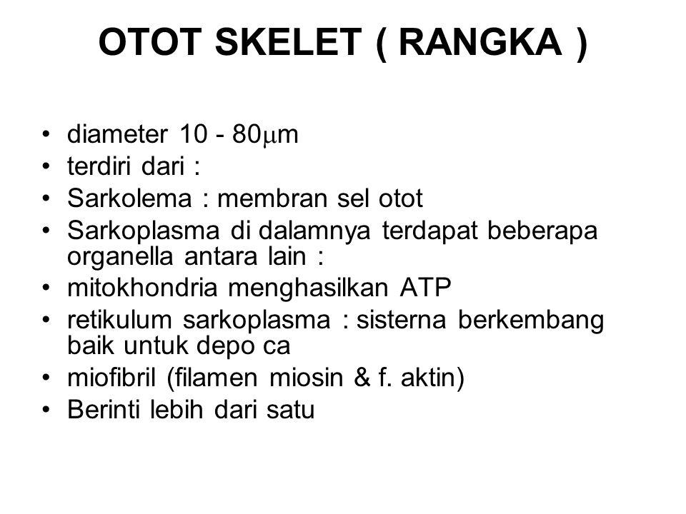 OTOT SKELET ( RANGKA ) diameter 10 - 80  m terdiri dari : Sarkolema : membran sel otot Sarkoplasma di dalamnya terdapat beberapa organella antara lai