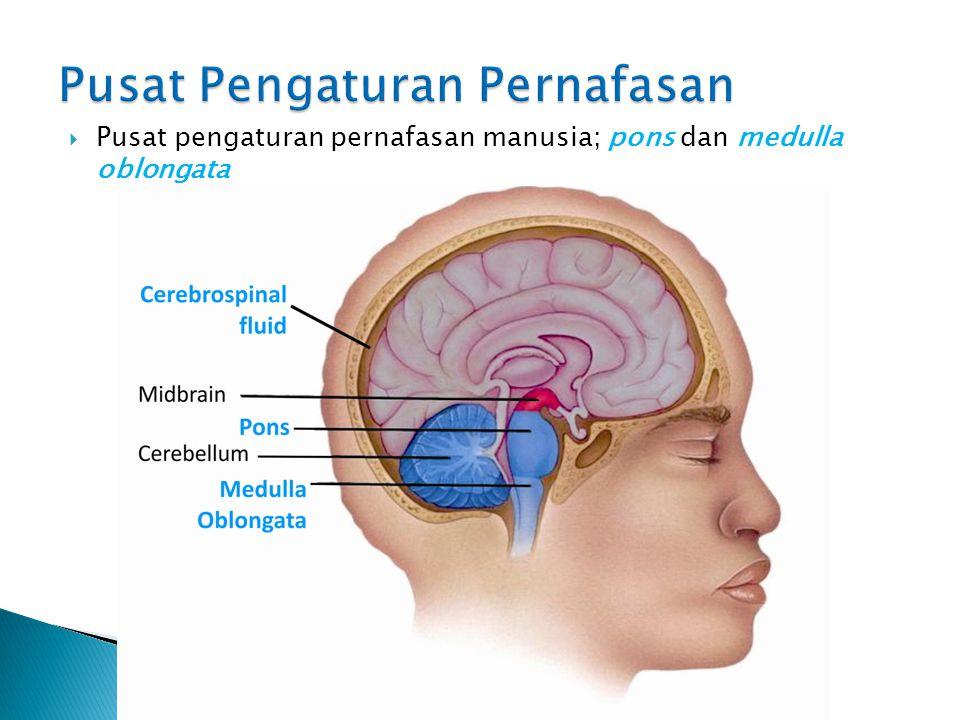  Jaringan kerja neuron yang mengatur mekanisme bernafas pada manusia disebut sebagai pusat pengaturan pernafasan.  Pusat pengaturan pernafasan terle