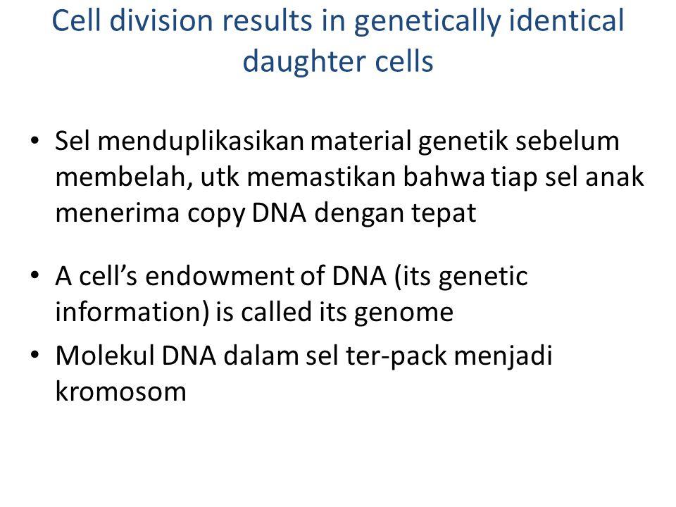 Cell division results in genetically identical daughter cells Sel menduplikasikan material genetik sebelum membelah, utk memastikan bahwa tiap sel ana