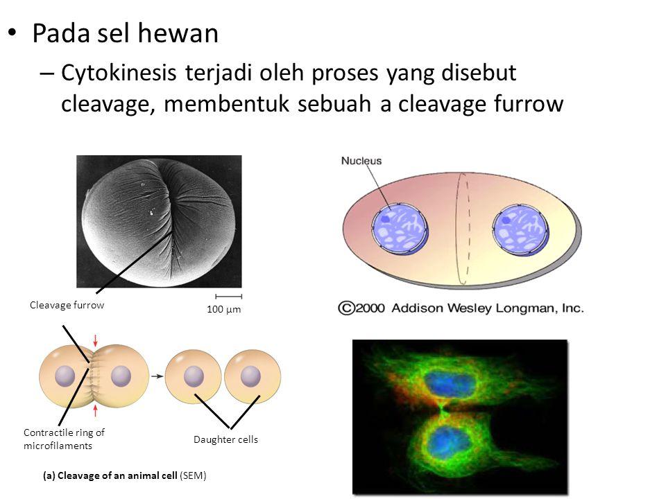 Pada sel hewan – Cytokinesis terjadi oleh proses yang disebut cleavage, membentuk sebuah a cleavage furrow Cleavage furrow Contractile ring of microfi