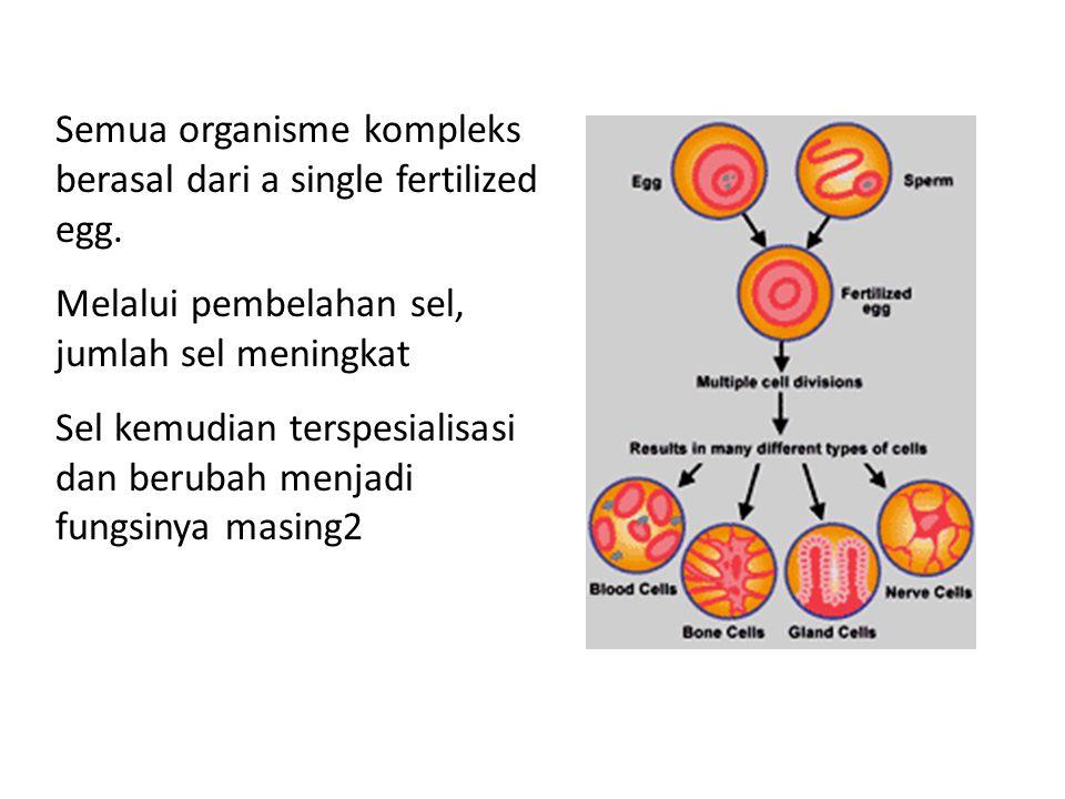 Semua organisme kompleks berasal dari a single fertilized egg. Melalui pembelahan sel, jumlah sel meningkat Sel kemudian terspesialisasi dan berubah m
