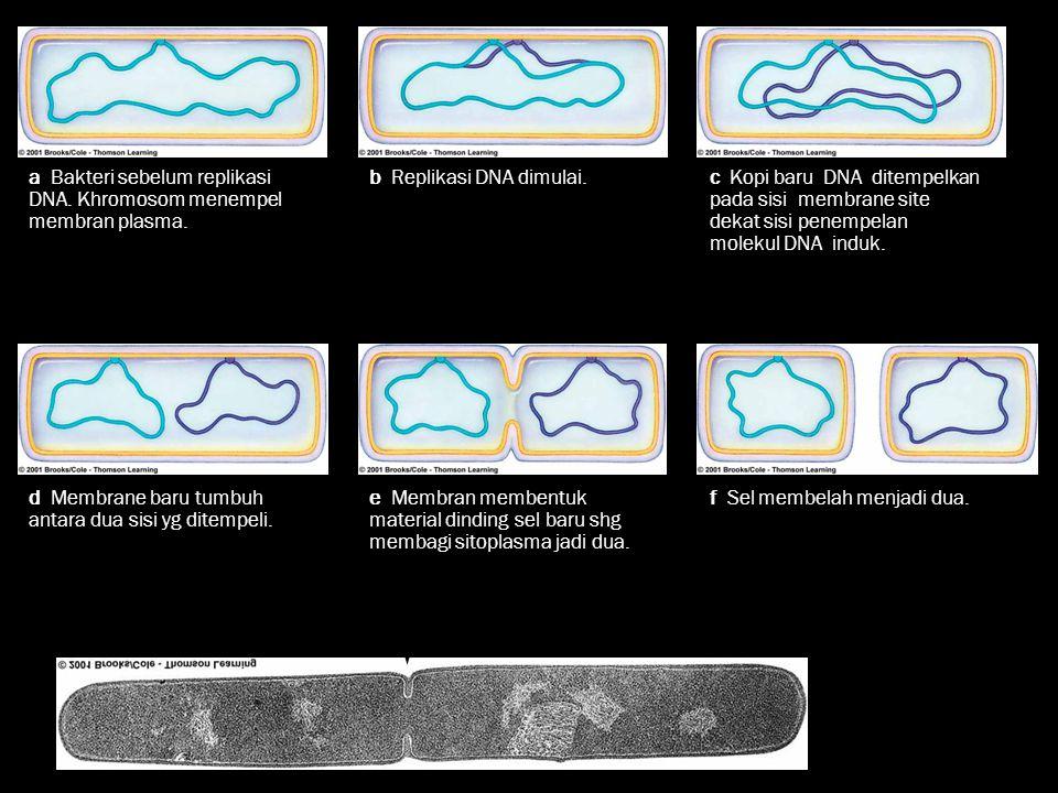 Fig. 22.7, p. 358 a Bakteri sebelum replikasi DNA. Khromosom menempel membran plasma. b Replikasi DNA dimulai.c Kopi baru DNA ditempelkan pada sisi me