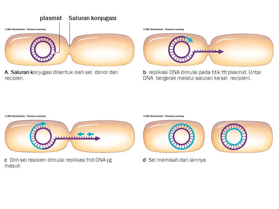 A. Saluran konjugasi dibentuk oleh sel donor dan recipien. b replikasi DNA dimulai pada titik ttt plasmid. Untai DNA bergerak melalui saluran ke sel r