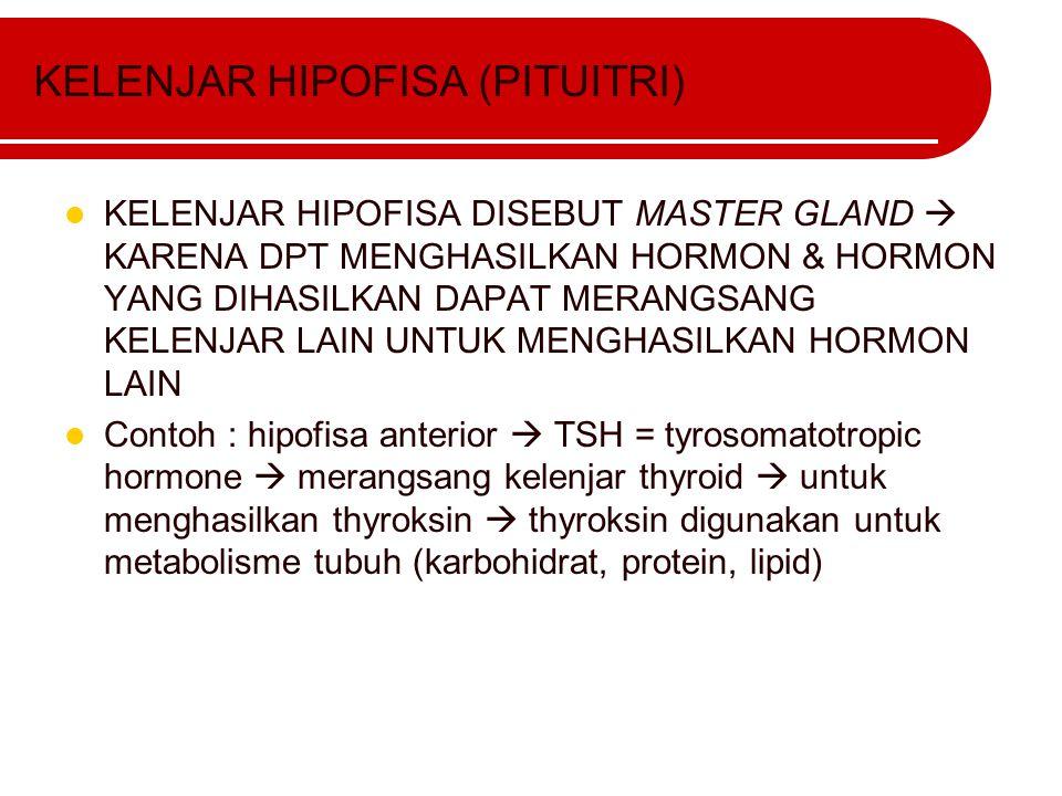 KELENJAR HIPOFISA (PITUITRI) KELENJAR HIPOFISA DISEBUT MASTER GLAND  KARENA DPT MENGHASILKAN HORMON & HORMON YANG DIHASILKAN DAPAT MERANGSANG KELENJA