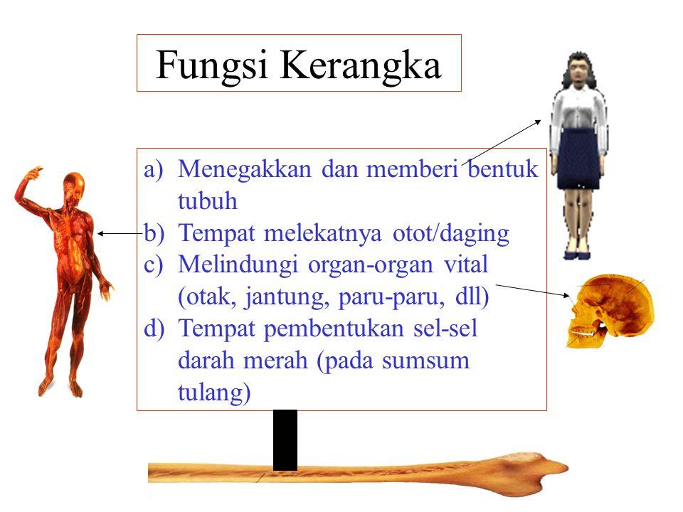 Fungsi Kerangka a)Menegakkan dan memberi bentuk tubuh b)Tempat melekatnya otot/daging c)Melindungi organ-organ vital (otak, jantung, paru-paru, dll) d)Tempat pembentukan sel-sel darah merah (pada sumsum tulang)
