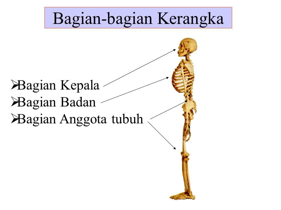 Bagian-bagian Kerangka  Bagian Kepala  Bagian Badan  Bagian Anggota tubuh