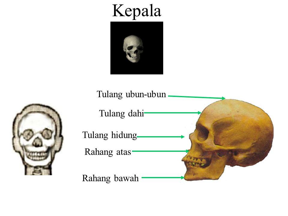 Kepala Tulang dahi Tulang ubun-ubun Rahang atas Rahang bawah Tulang hidung