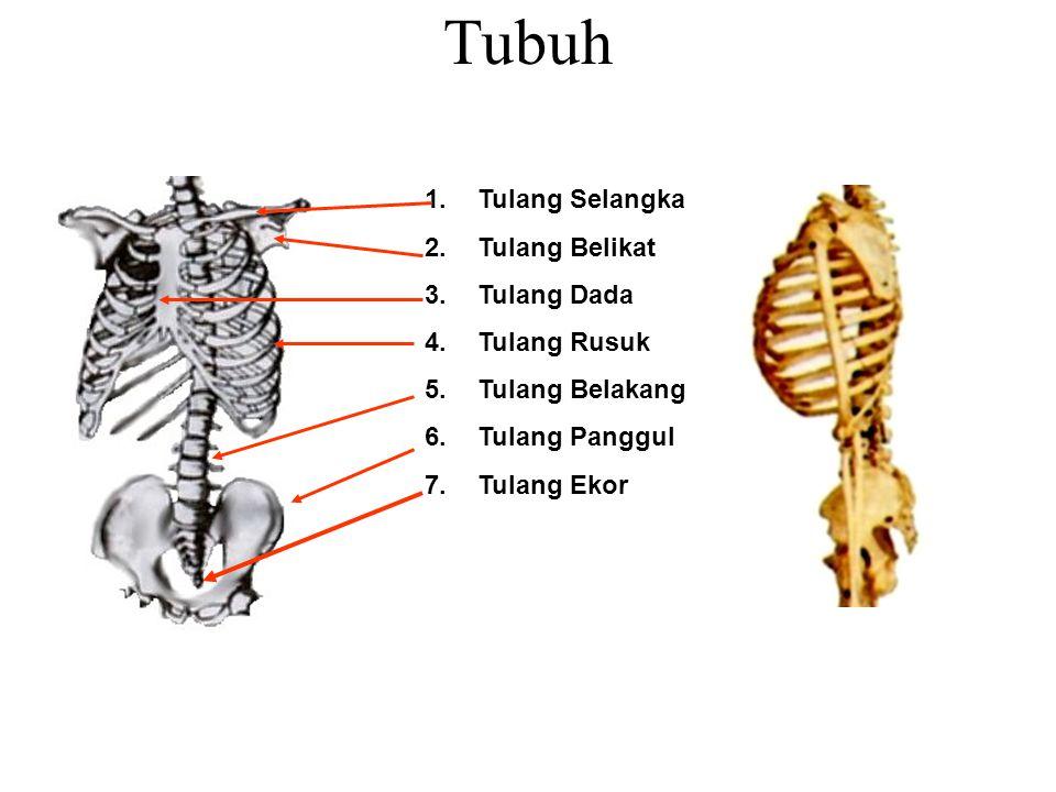 Tubuh 1.Tulang Selangka 2.Tulang Belikat 3.Tulang Dada 4.Tulang Rusuk 5.Tulang Belakang 6.Tulang Panggul 7.Tulang Ekor