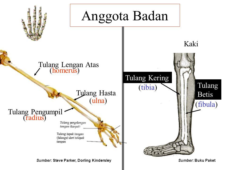 Anggota Badan Kaki Tulang Hasta (ulna) Tulang Pengumpil (radius) Tulang Lengan Atas (homerus) Tulang Kering Tulang Betis (tibia) (fibula) Sumber: Stev