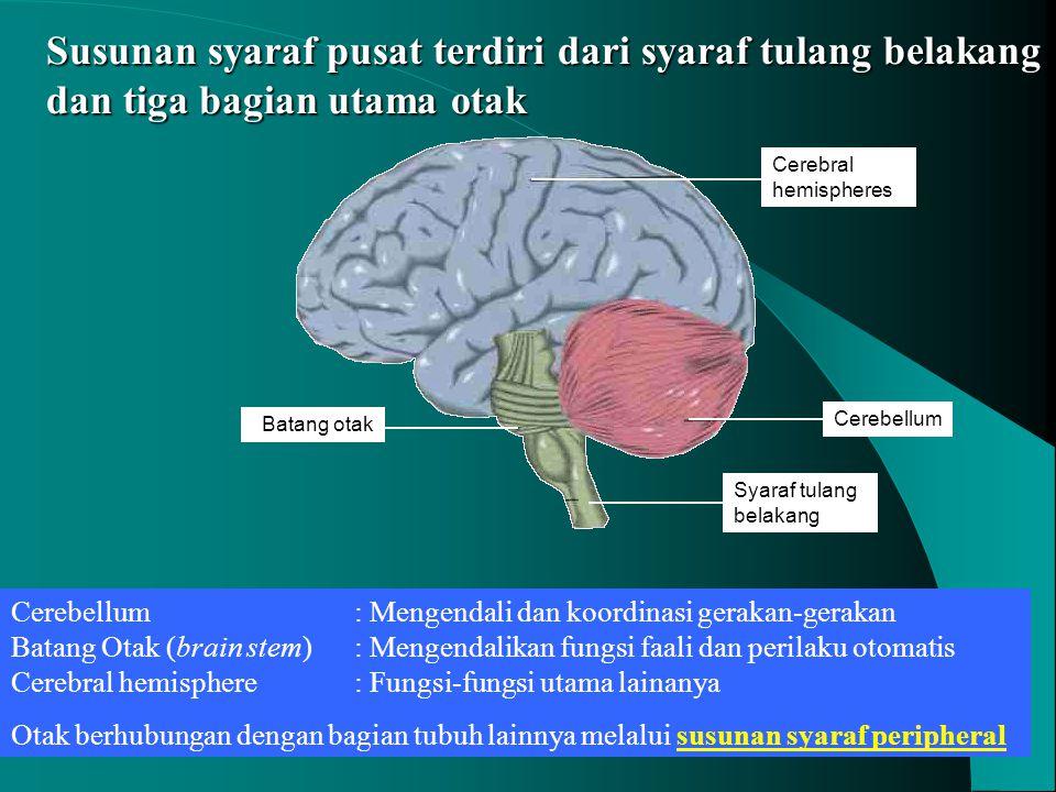 Susunan syaraf pusat terdiri dari syaraf tulang belakang dan tiga bagian utama otak Cerebellum Cerebral hemispheres Batang otak Syaraf tulang belakang