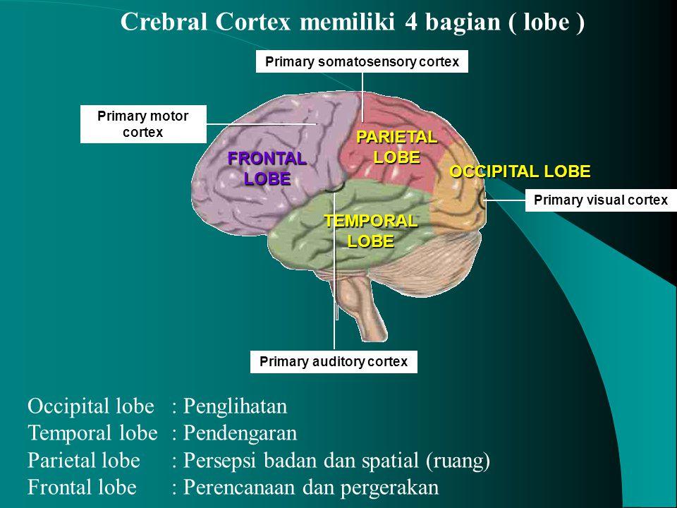 Crebral Cortex memiliki 4 bagian ( lobe ) PARIETAL LOBE FRONTAL LOBE TEMPORAL LOBE OCCIPITAL LOBE Primary visual cortex Primary motor cortex Primary a