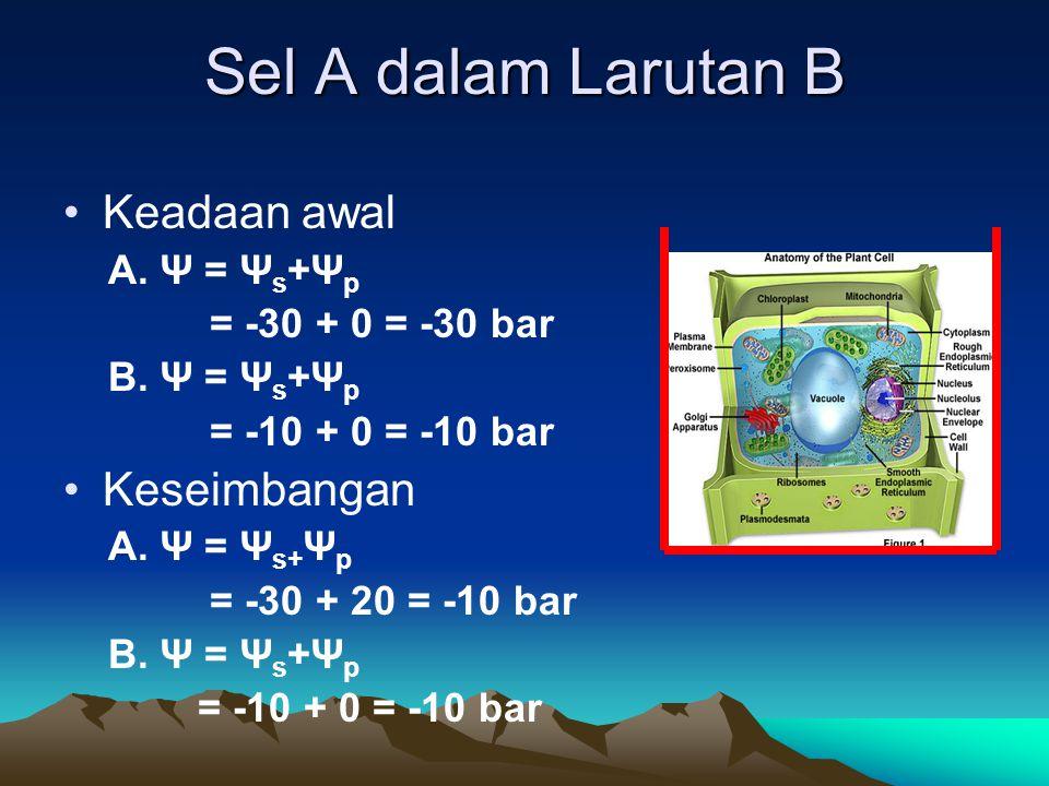 Sel A dalam Larutan B Keadaan awal A. Ψ = Ψ s +Ψ p = -30 + 0 = -30 bar B. Ψ = Ψ s +Ψ p = -10 + 0 = -10 bar Keseimbangan A. Ψ = Ψ s+ Ψ p = -30 + 20 = -