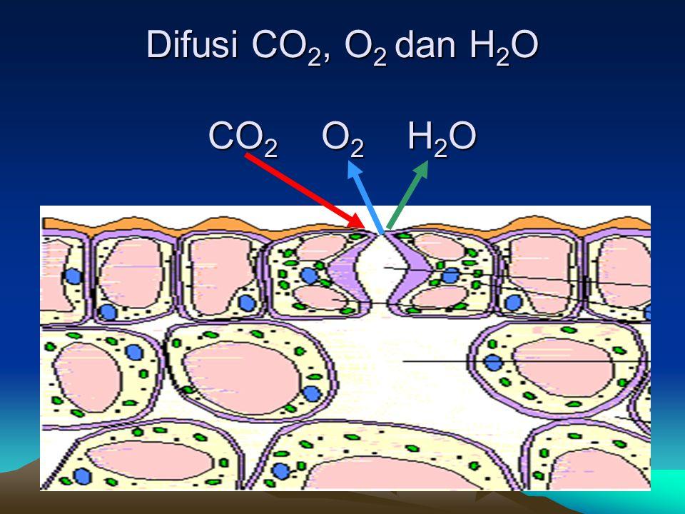 Difusi CO 2, O 2 dan H 2 O CO 2 O 2 H 2 O