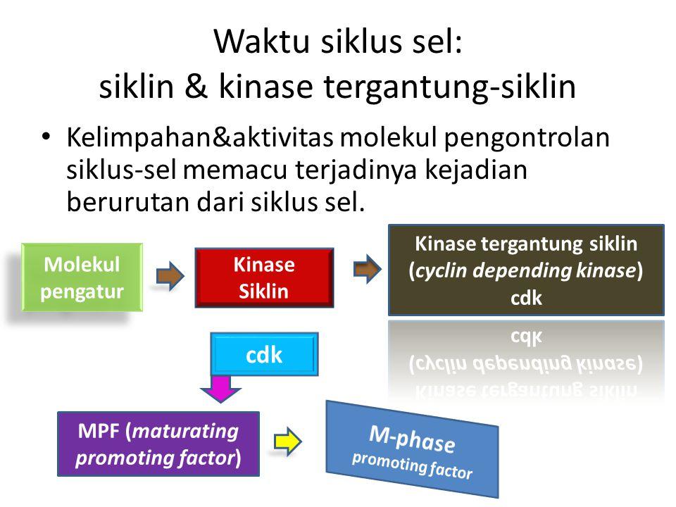 Waktu siklus sel: siklin & kinase tergantung-siklin Kelimpahan&aktivitas molekul pengontrolan siklus-sel memacu terjadinya kejadian berurutan dari sik