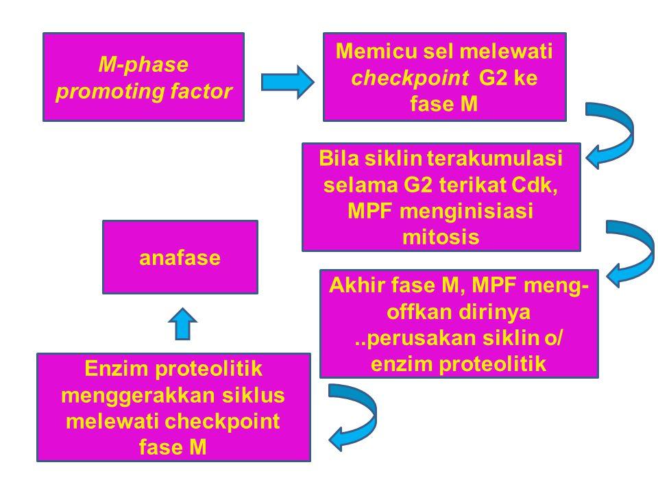M-phase promoting factor Memicu sel melewati checkpoint G2 ke fase M Bila siklin terakumulasi selama G2 terikat Cdk, MPF menginisiasi mitosis Akhir fa