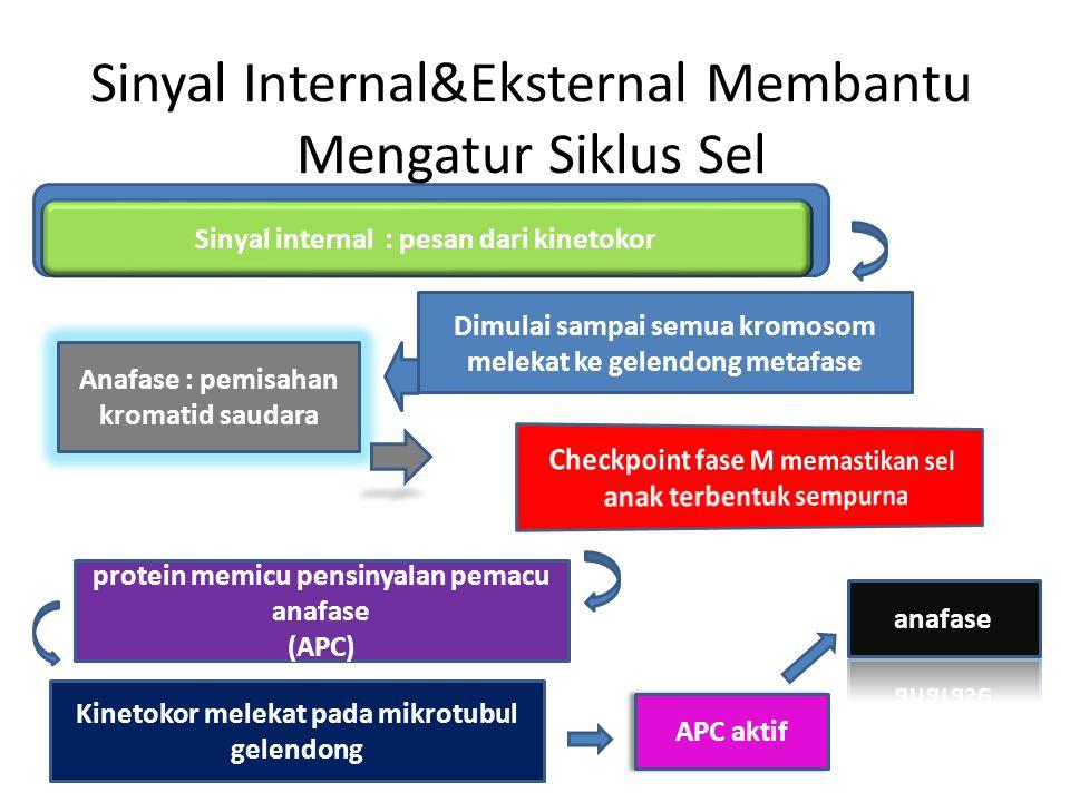 Sinyal internal : pesan dari kinetokor Sinyal Internal&Eksternal Membantu Mengatur Siklus Sel Anafase : pemisahan kromatid saudara Dimulai sampai semu