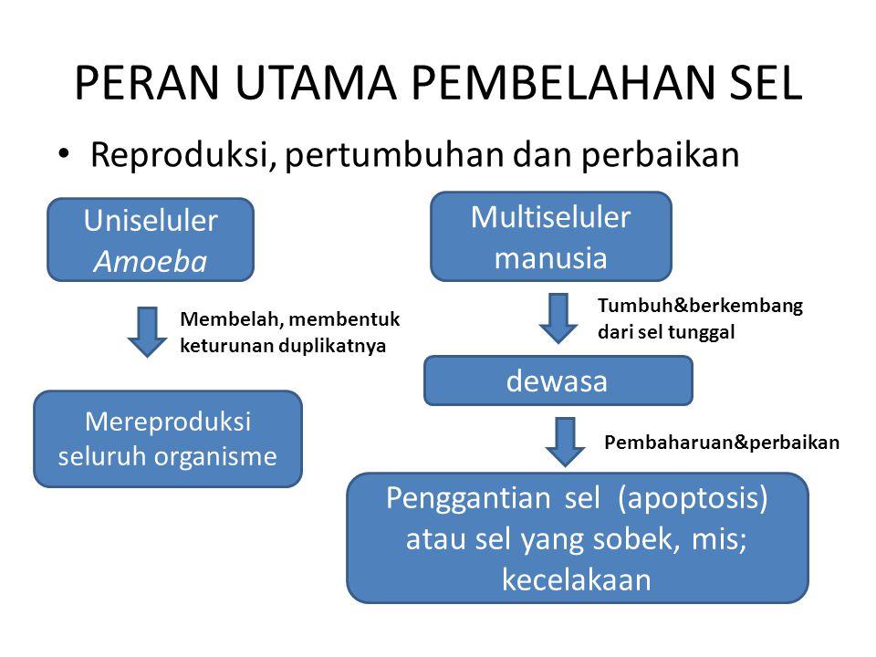 PERAN UTAMA PEMBELAHAN SEL Reproduksi, pertumbuhan dan perbaikan Uniseluler Amoeba Mereproduksi seluruh organisme Membelah, membentuk keturunan duplik