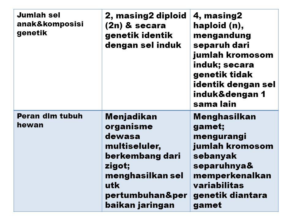 Jumlah sel anak&komposisi genetik 2, masing2 diploid (2n) & secara genetik identik dengan sel induk 4, masing2 haploid (n), mengandung separuh dari ju