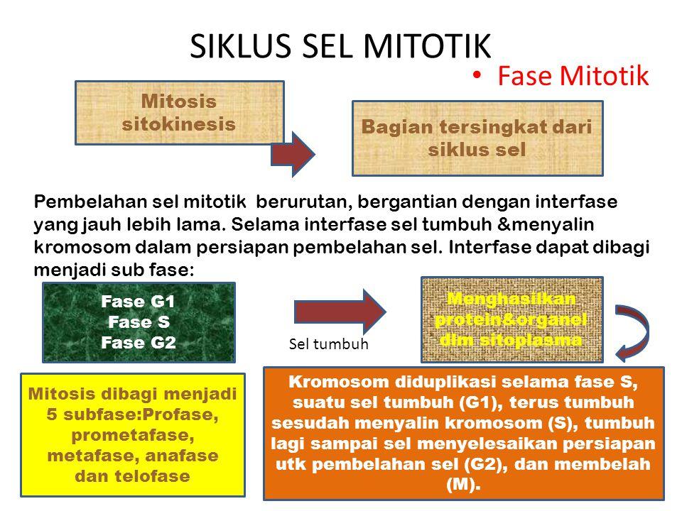 SIKLUS SEL MITOTIK Fase Mitotik Mitosis sitokinesis Bagian tersingkat dari siklus sel Pembelahan sel mitotik berurutan, bergantian dengan interfase ya