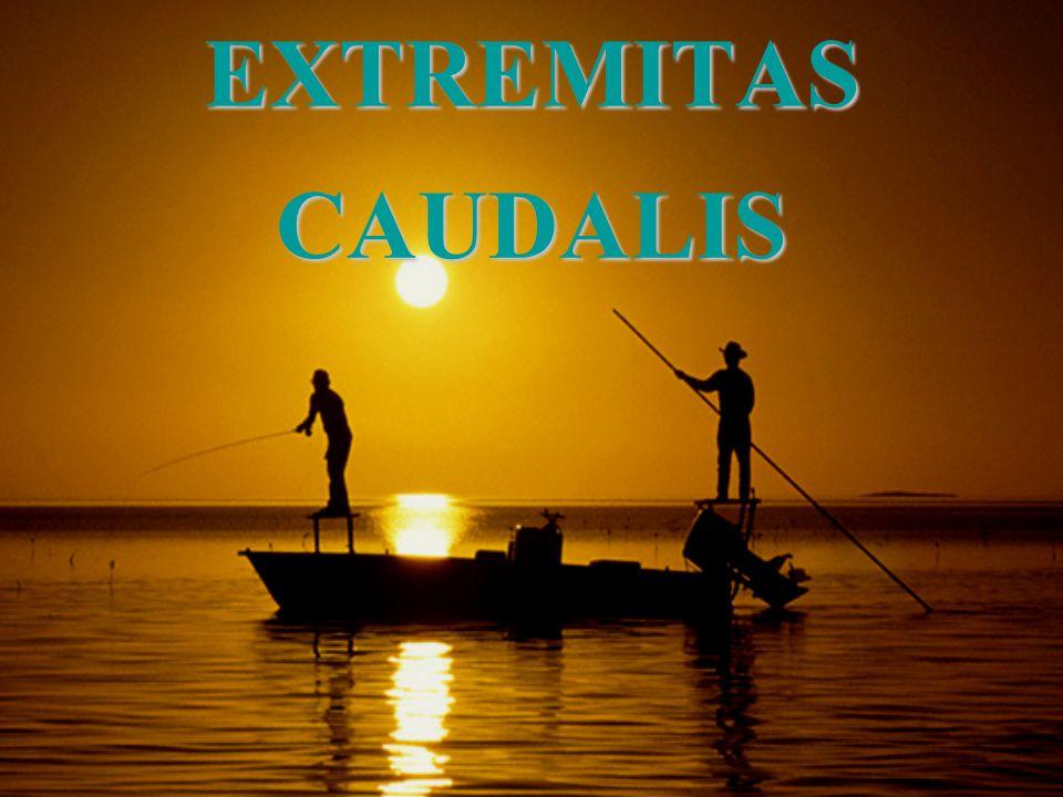 EXTREMITAS CAUDALIS