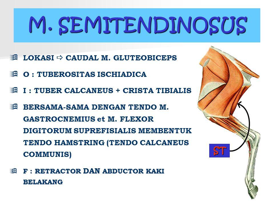 M. SEMITENDINOSUS  LOKASI  CAUDAL M. GLUTEOBICEPS  O : TUBEROSITAS ISCHIADICA  I : TUBER CALCANEUS + CRISTA TIBIALIS  BERSAMA-SAMA DENGAN TENDO M