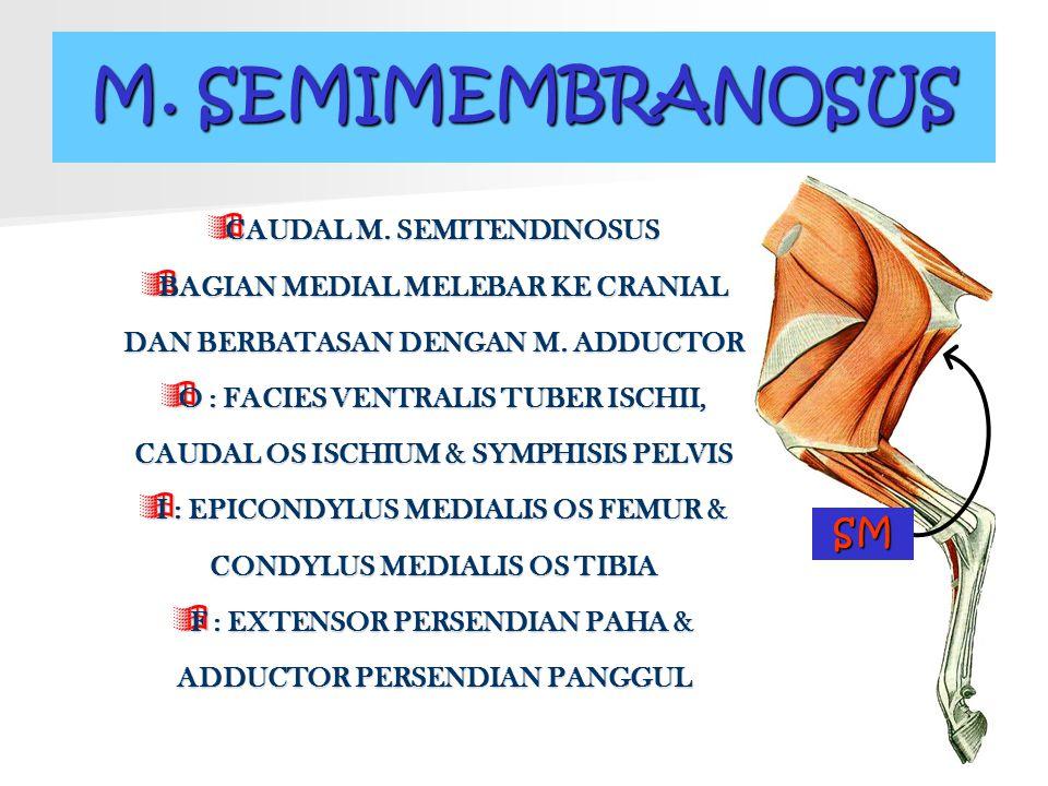 M. SEMIMEMBRANOSUS  CAUDAL  CAUDAL M. SEMITENDINOSUS  BAGIAN  BAGIAN MEDIAL MELEBAR KE CRANIAL DAN BERBATASAN DENGAN M. ADDUCTOR  O  O : FACIES