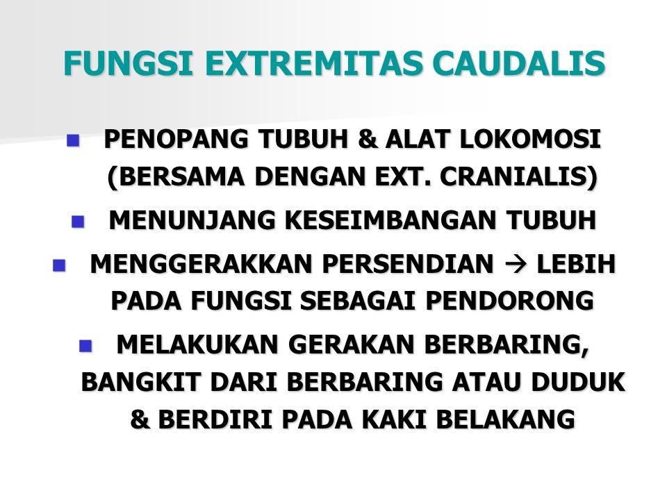 FUNGSI EXTREMITAS CAUDALIS PENOPANG TUBUH & ALAT LOKOMOSI (BERSAMA DENGAN EXT. CRANIALIS) MENUNJANG KESEIMBANGAN TUBUH MENGGERAKKAN PERSENDIAN  LEBIH