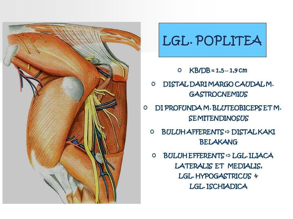 LGL. POPLITEA o KB/DB = 1,5 – 1,9 cm o DISTAL DARI MARGO CAUDAL M. GASTROCNEMIUS o DI PROFUNDA M. BLUTEOBICEPS ET M. SEMITENDINOSUS o BULUH AFFERENTS