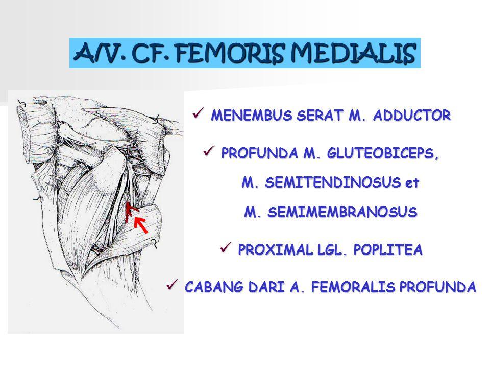 A/V. CF. FEMORIS MEDIALIS MENEMBUS SERAT M. ADDUCTOR PROFUNDA M. GLUTEOBICEPS, M. SEMITENDINOSUS et M. SEMIMEMBRANOSUS PROXIMAL LGL. POPLITEA CABANG D