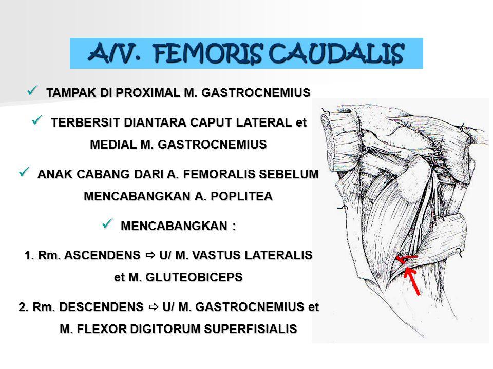 A/V. FEMORIS CAUDALIS TAMPAK DI PROXIMAL M. GASTROCNEMIUS TERBERSIT DIANTARA CAPUT LATERAL et MEDIAL M. GASTROCNEMIUS ANAK CABANG DARI A. FEMORALIS SE